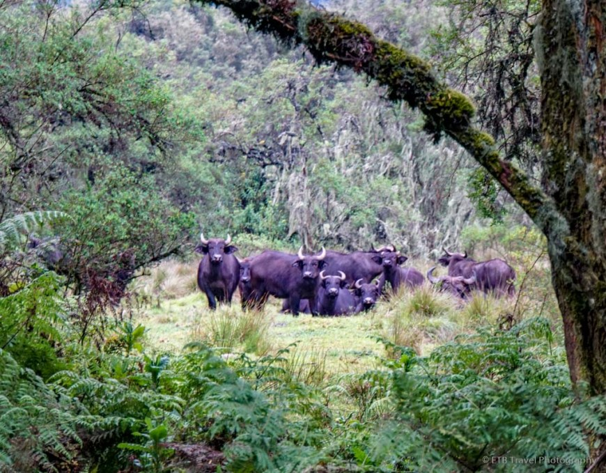 herd of buffalo in rwanda