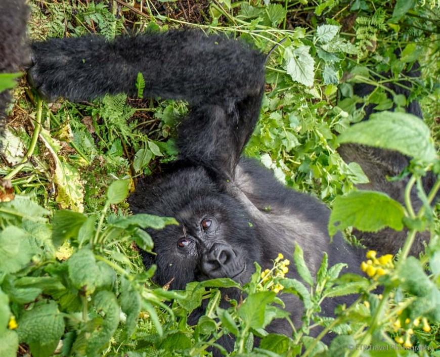 mama gorilla watching her baby play