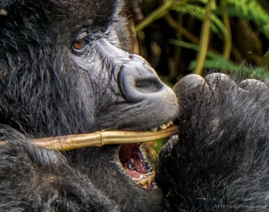 gorilla munching on leaves in rwanda