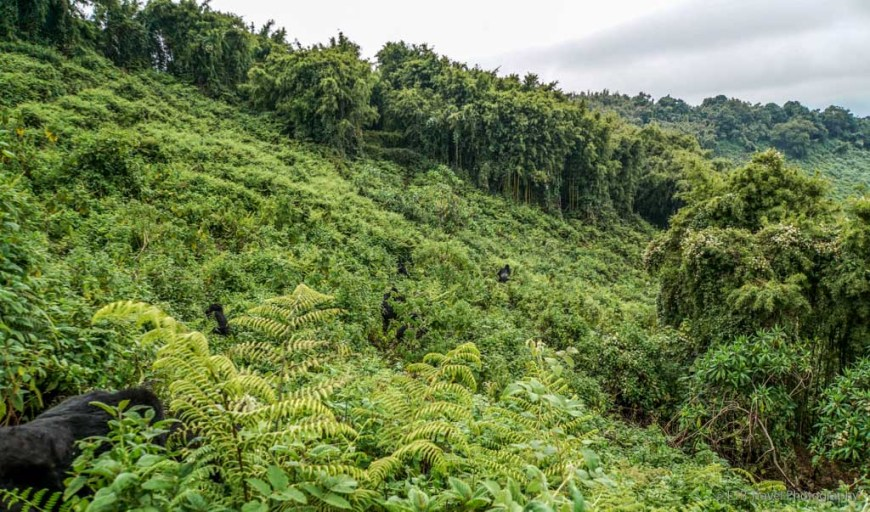 gorillas in the ferns of the Virunga Mountains in Rwanda