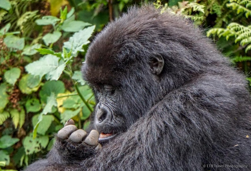 gorilla inspecting its booger