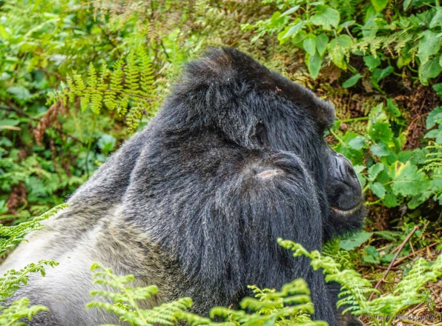 silverback in rwanda