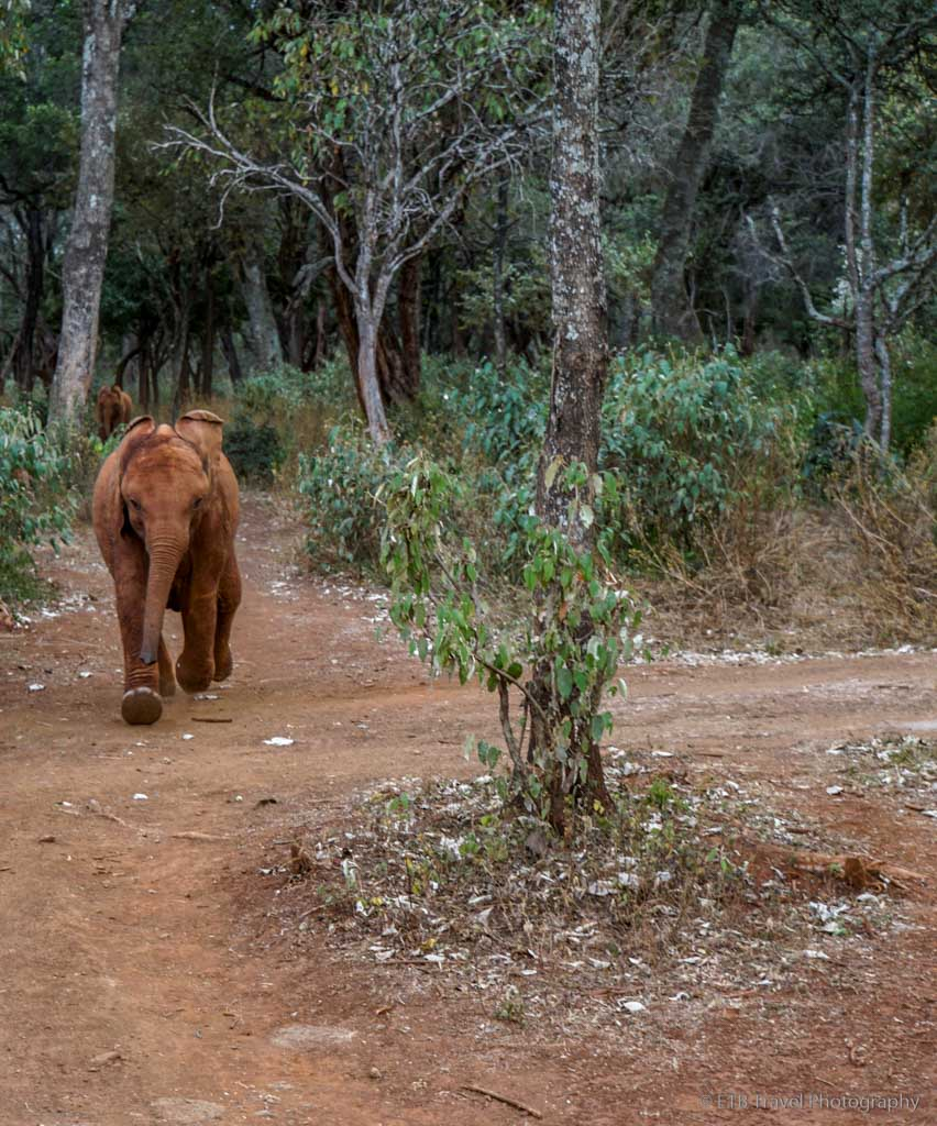 baby elephant coming back to Sheldrick's for dinner from National Park