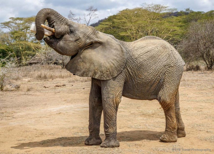 orphan elephant drinking its milk