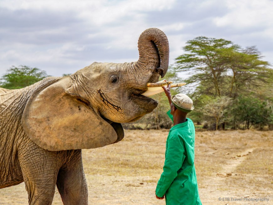 keeper feeding elephant at Umani Springs
