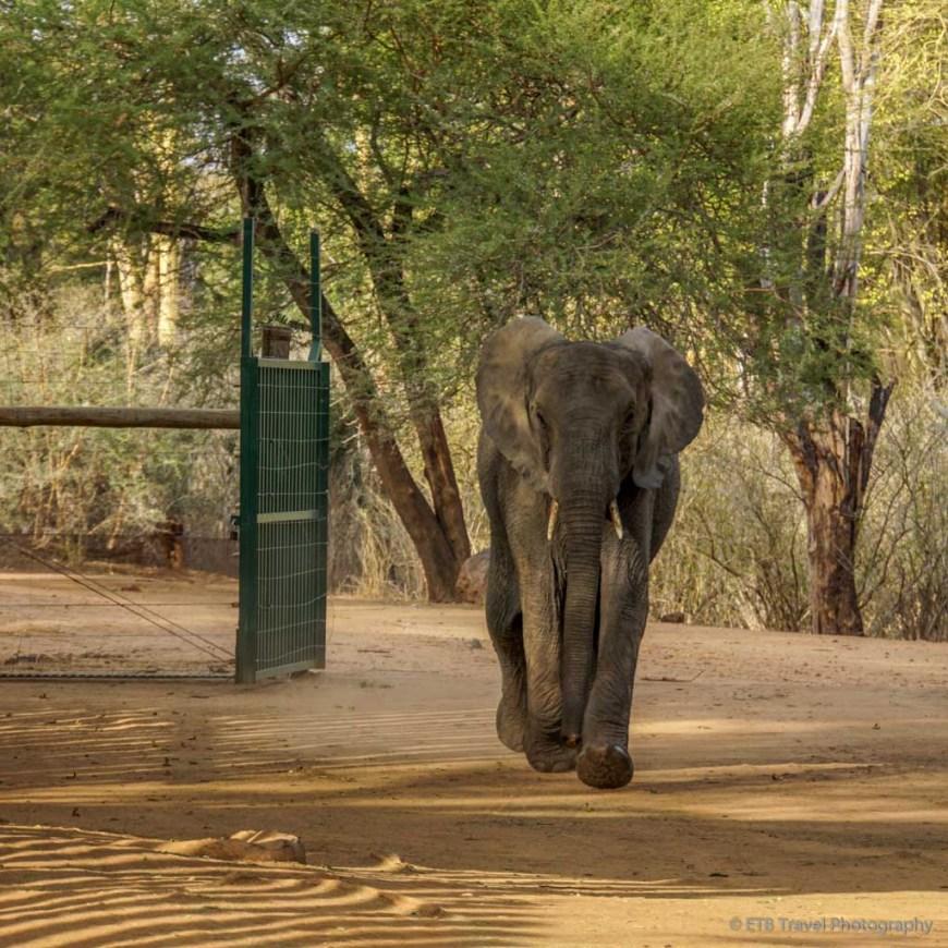 orphan elephant returning to stockades at Umani Springs