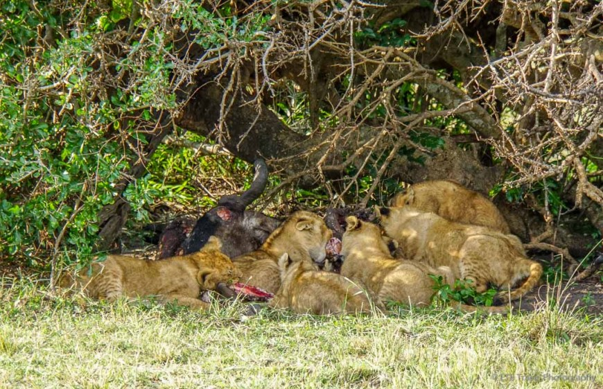 six cubs eating wildebeest in the Masai Mara