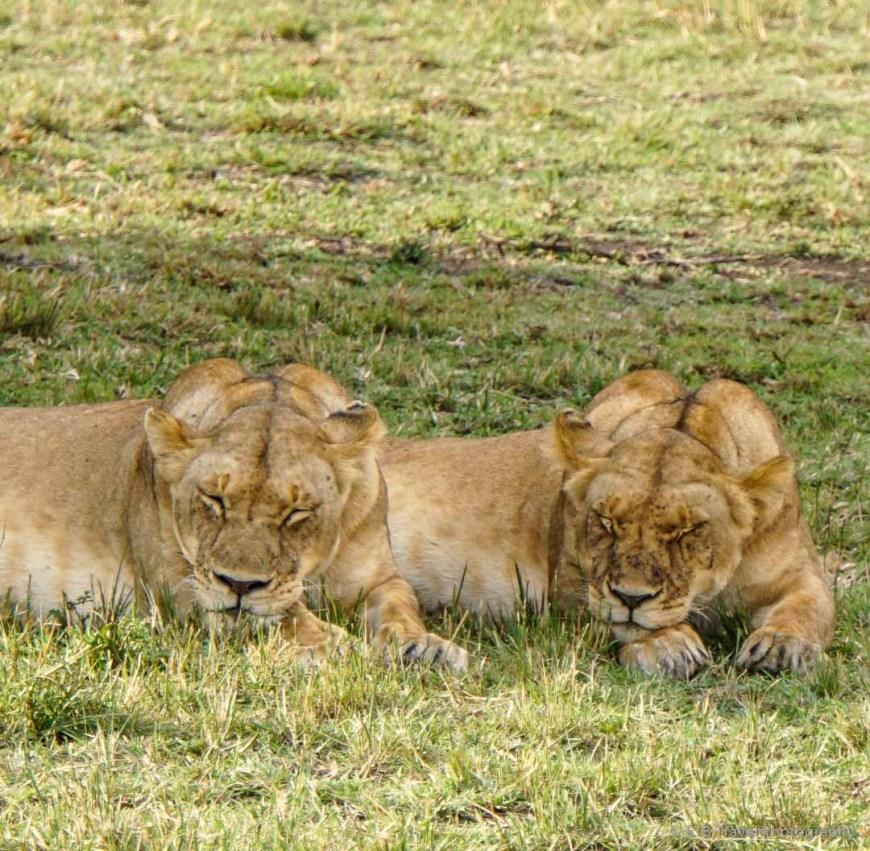 two lioness in the Masai Mara