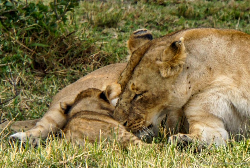 one nursing cub in the Masai Mara