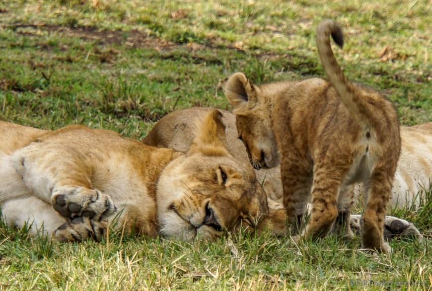 cub about to nurse in the Masai Mara