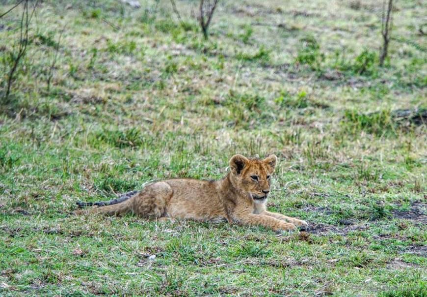 lion cub in the Masai Mara