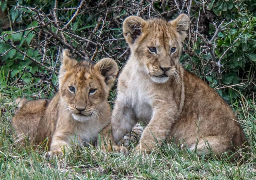 two cubs in the Masai Mara