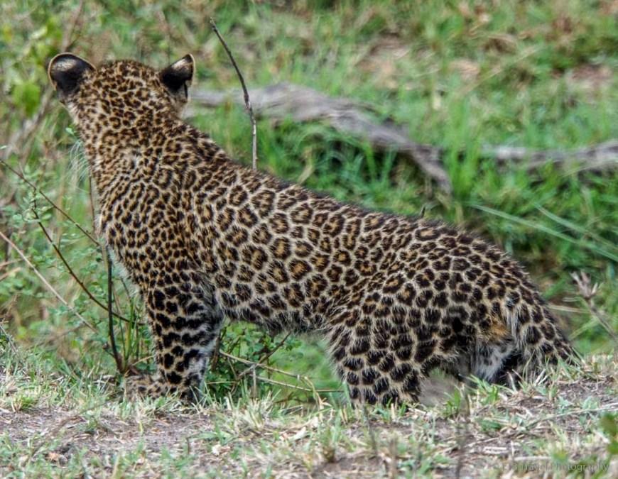 baby leopard in the Masai Mara