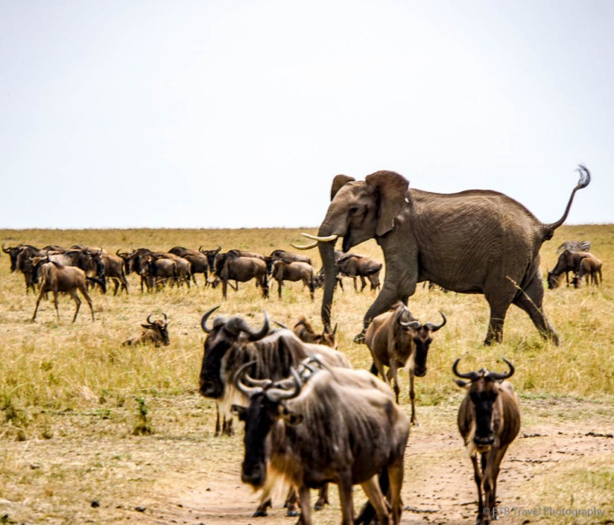 elephant trumpeting at injured wildebeest