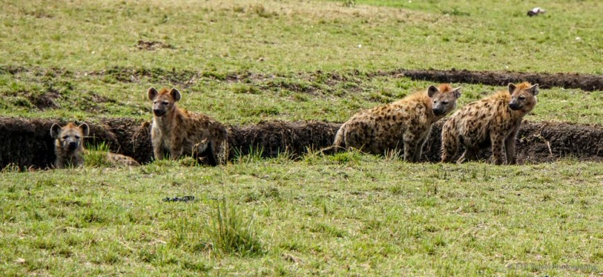 Hyenas afraid of warthog