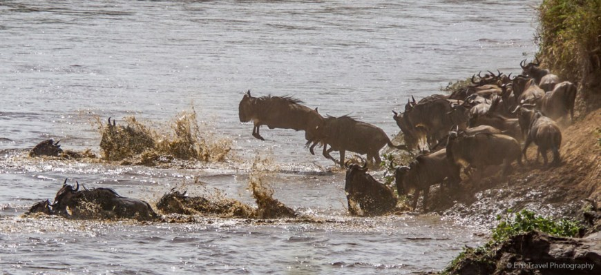 wildebeest leaping into the water