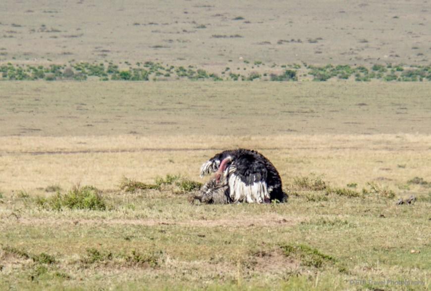 ostriches mating in the Masai Mara
