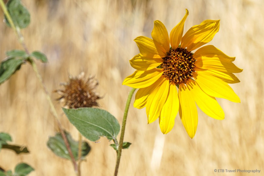 Sunflower on Grandeur Peak