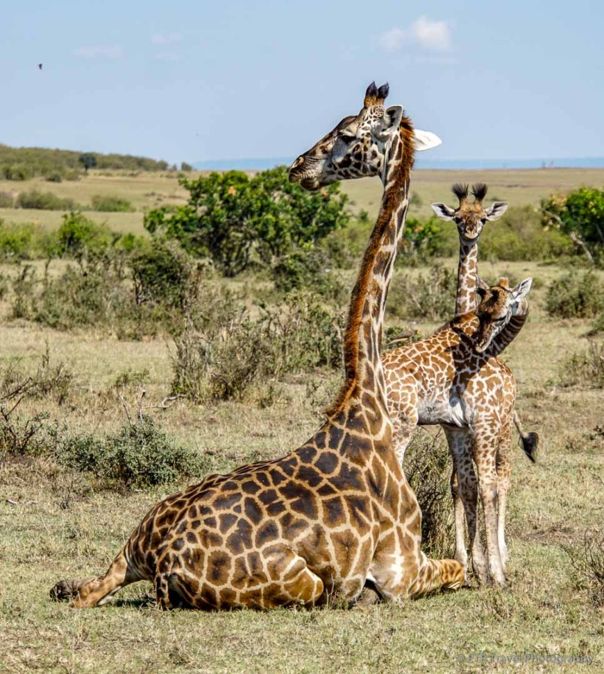rare giraffe twins in the Masai Mara