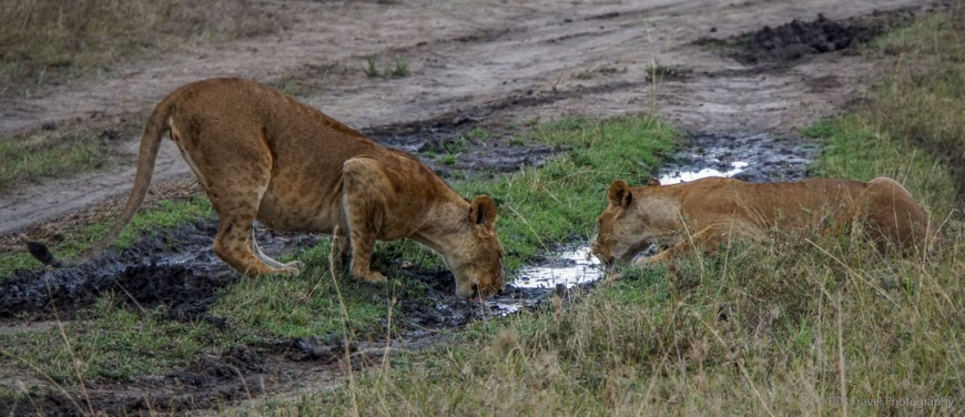 lions drinking out of tire track