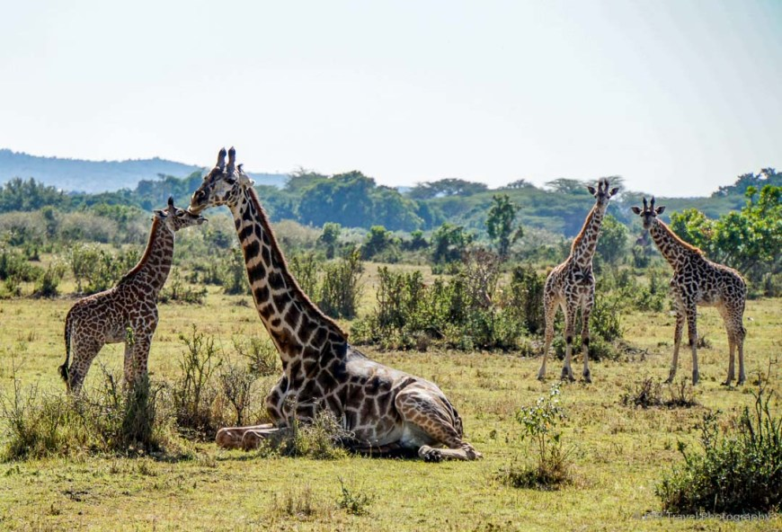four giraffes in the Masai Mara