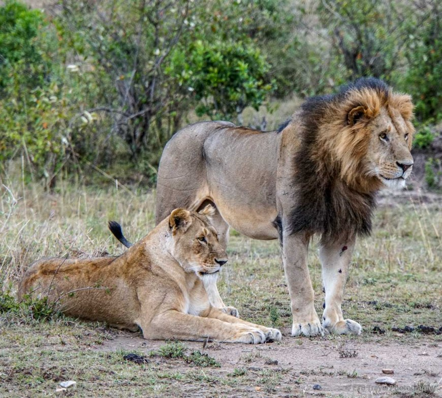 lion honeymoon couple