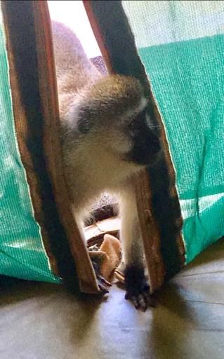 monkey in my tent
