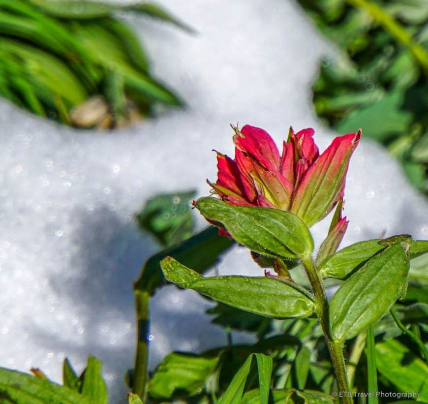 Indian Paint Brush and Snow