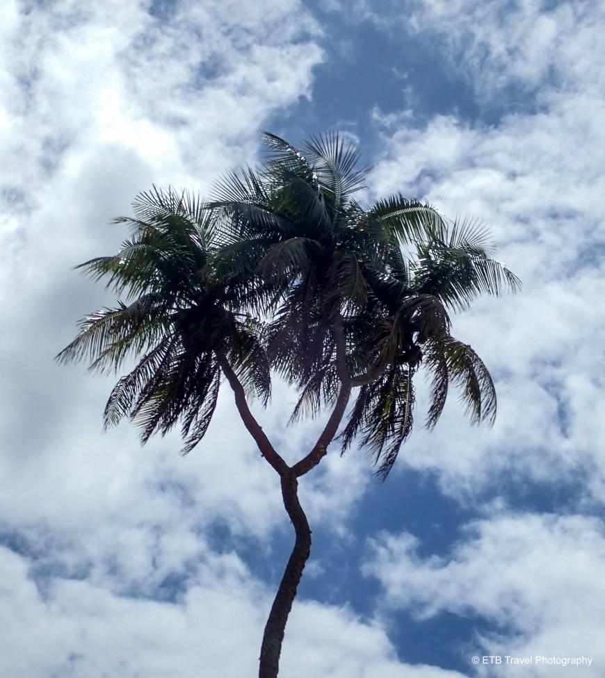 Three headed coconut tree in tonga