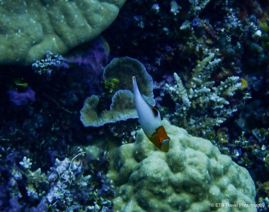 juvenile bicolor parrotfish
