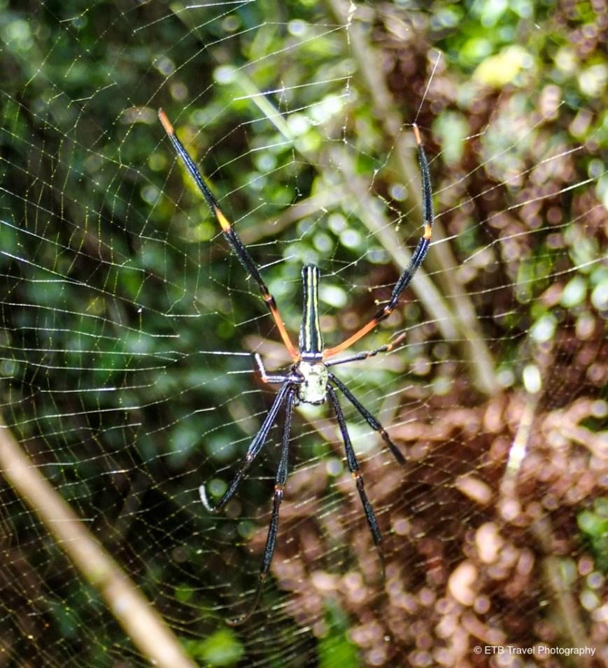 spider on the way to Tenaru Falls