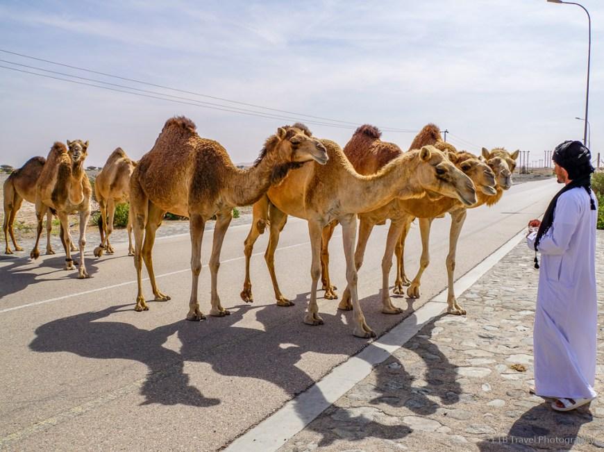 sami feeding the camels a pita