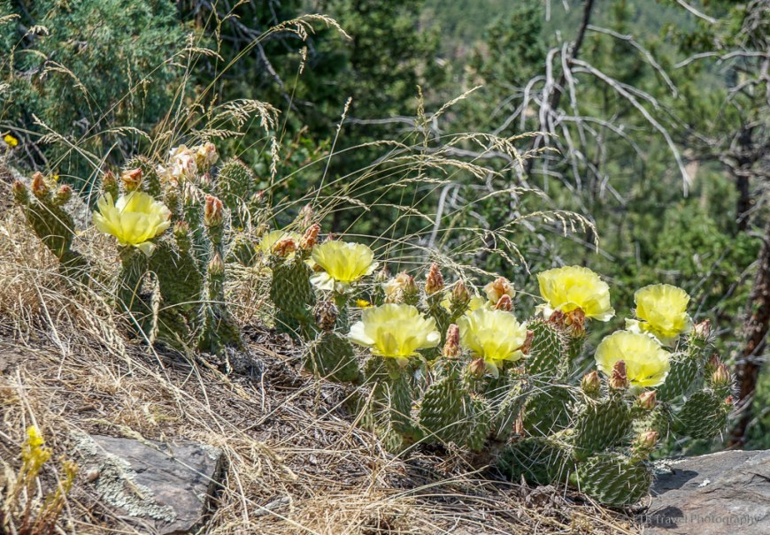 prickly pear on stone mountain