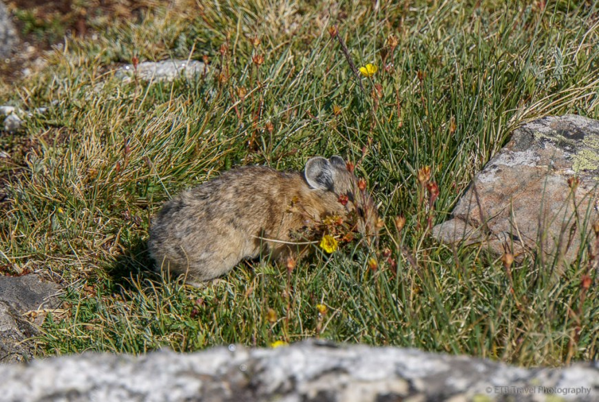 pika pulling up grass and flowers
