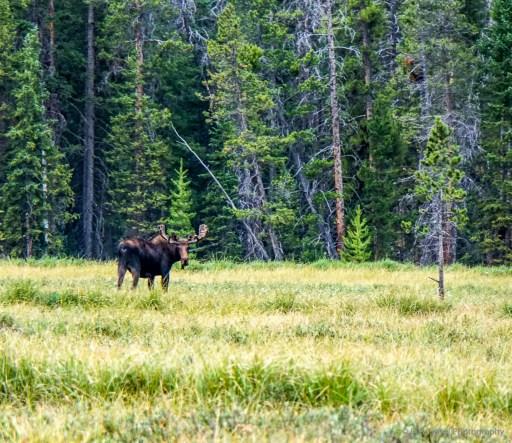 moose in Fraser
