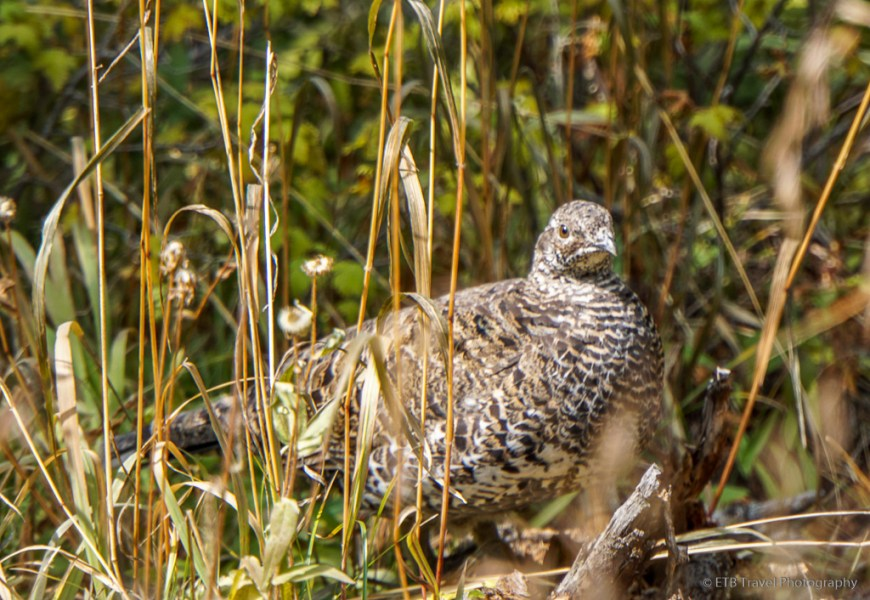 grouse on gold dust trail