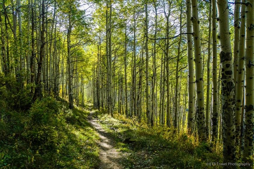 aspen grove on Game Creek Trail