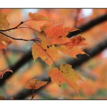 photographic note card, maple leaf