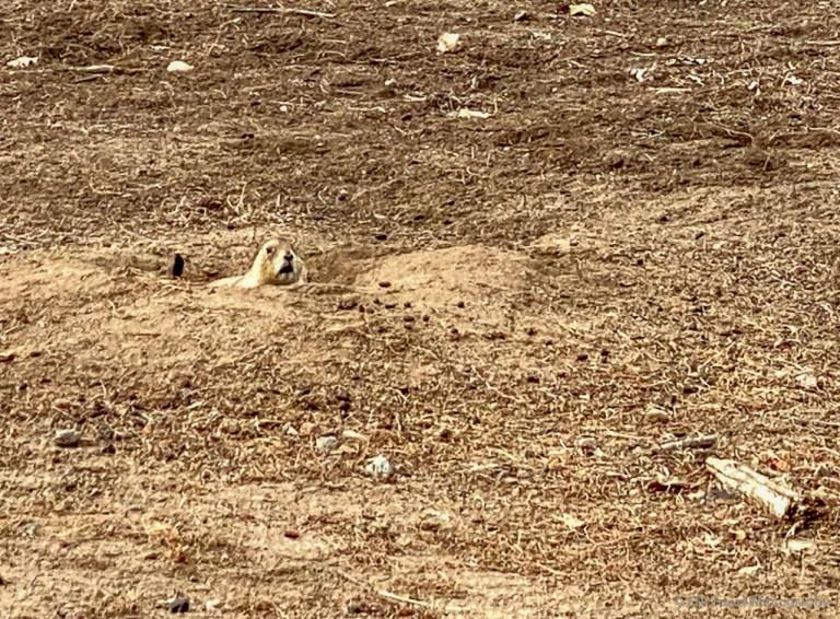 prairie dog at northfield pond park
