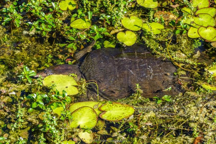 softshell turtle in big cypress