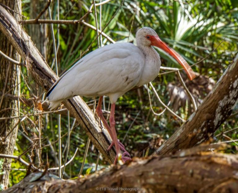 white ibis at corkscrew swamp sanctuary