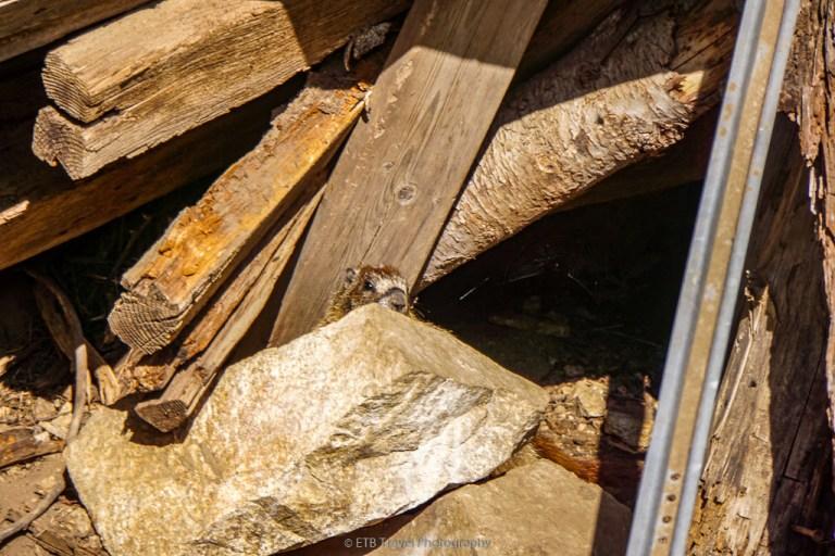 marmot at adelmann mine