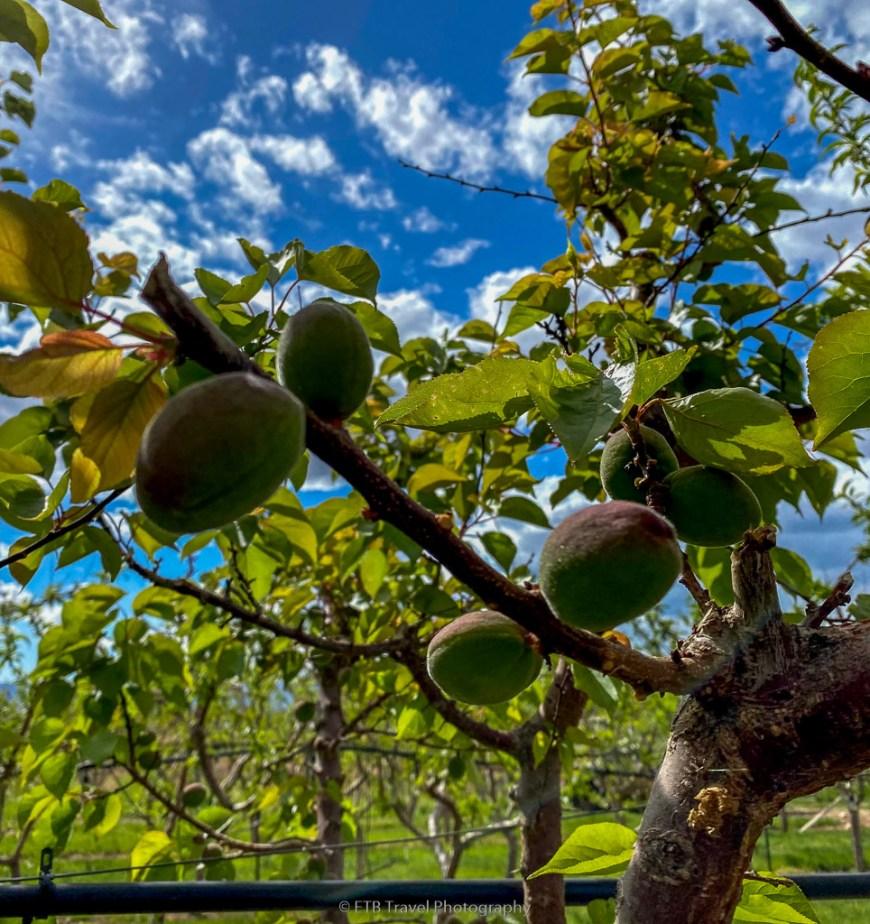 apricot at peachfork orchard and vineyard