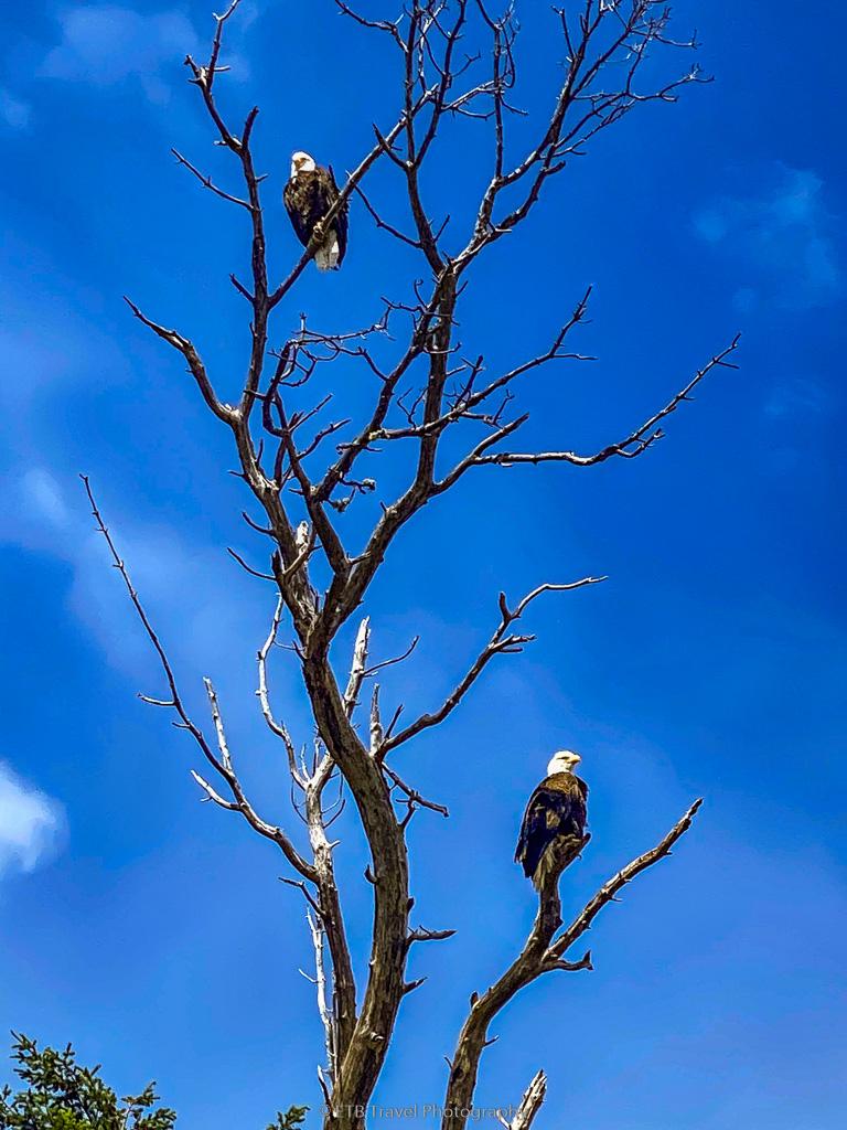 bald eagles on the olympic peninsula