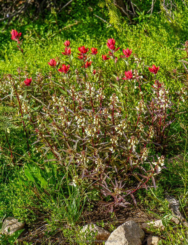 indian paint brush on second creek trail