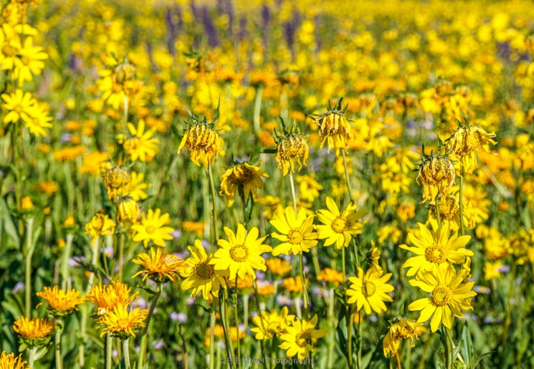 wildflowers on snodgrass trail in crested butte