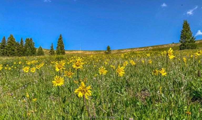 wildflower meadow on Sangree froelicher hike in leadville