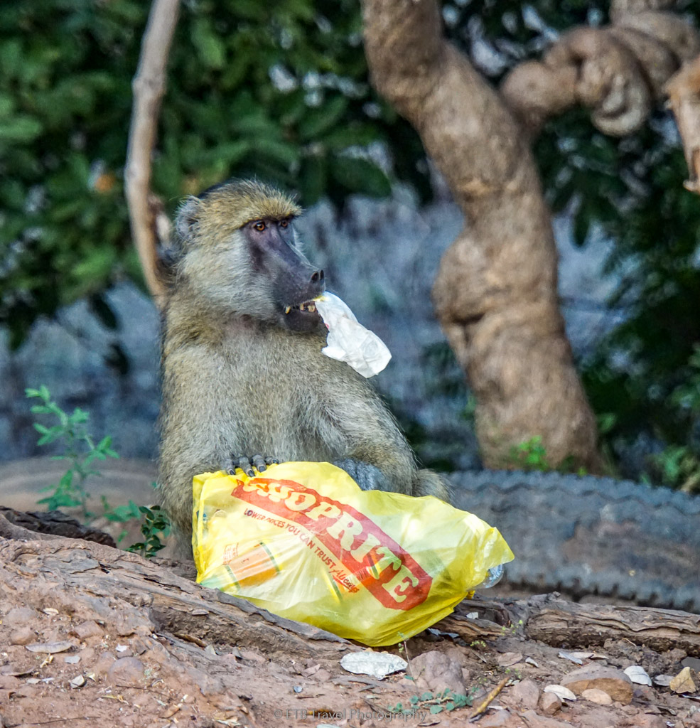 baboon eating trash