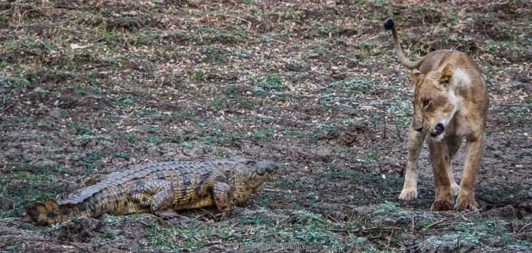 lion and croc
