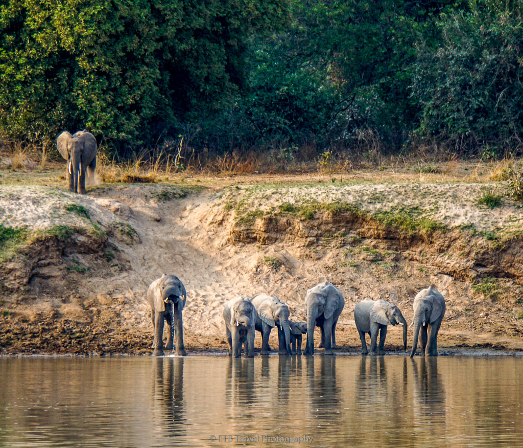 elephants at the luangwa river